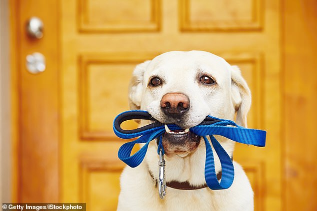 Professor Norman Lazarus advises acquiring a dog to take for long walks. Pictured: Labrador retriever with leash is waiting for walk